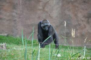 zoo praha gorila