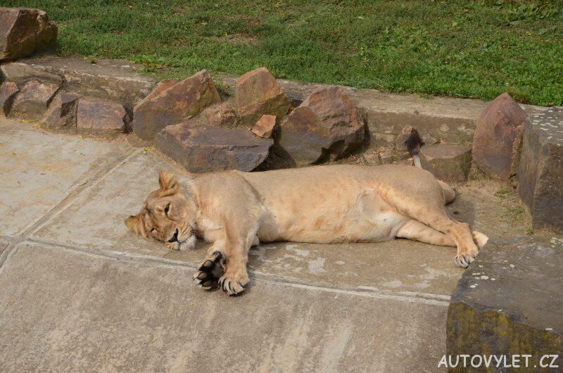 zoo praha lvice