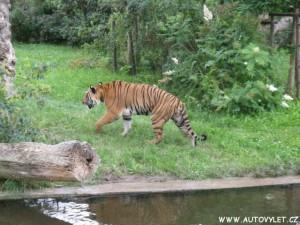 Zoo Praha tygr