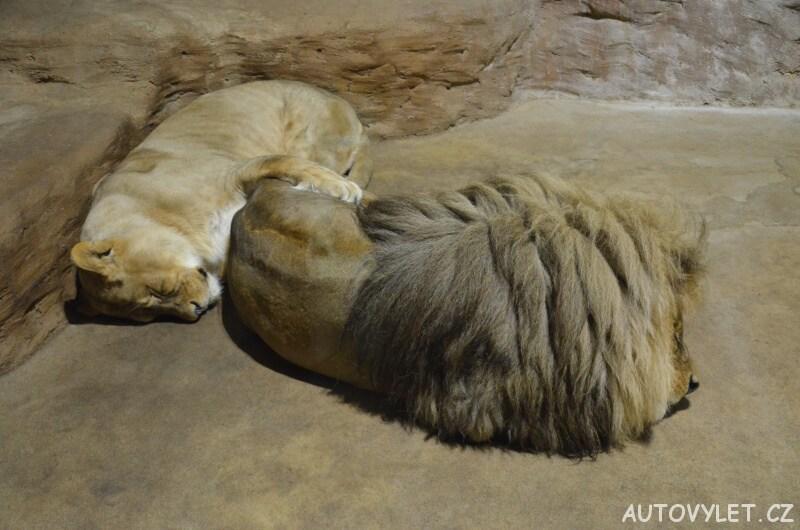 Lvi - Zoo Ústí n L