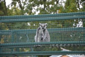 Lemur - Zoo Ústí n L