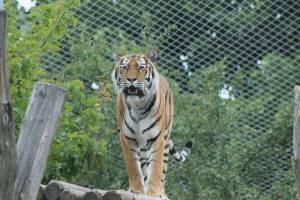 zoo vídeň tygr