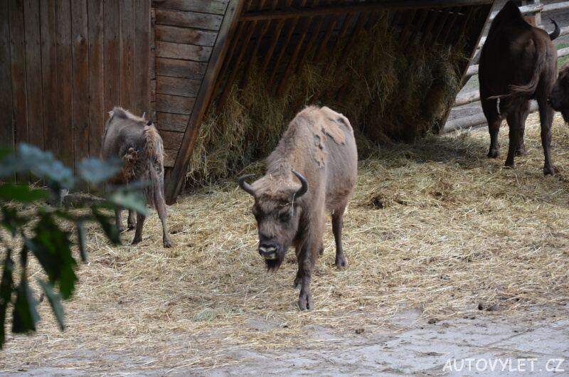 Zubr - Wolinský národní park - Mezizdroje Polsko