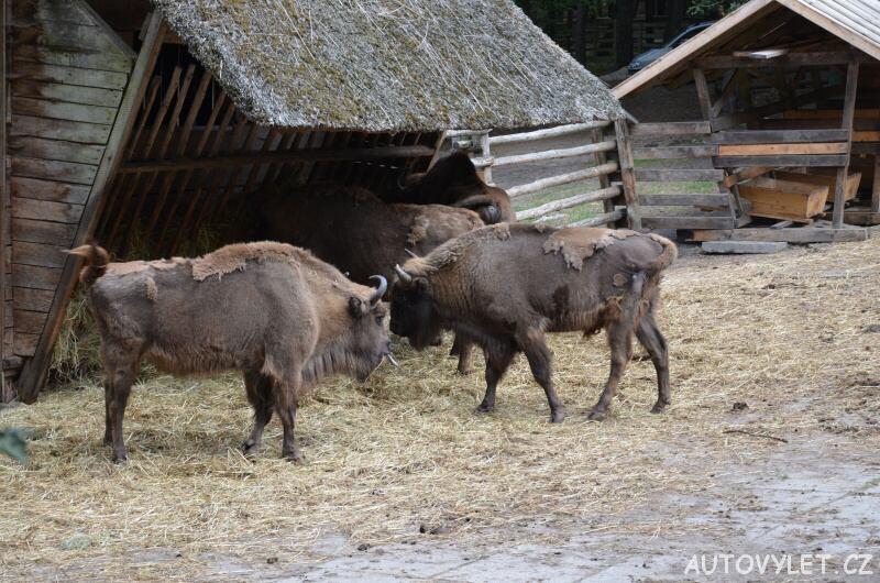 Zubři - Wolinský národní park - Mezizdroje Polsko
